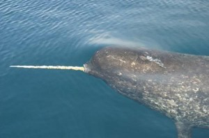 Narwhal picture image