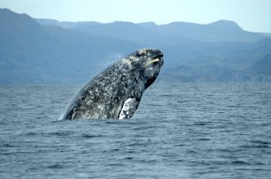 Gray Whale picture image