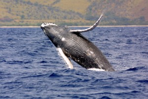 Humpback Whale picture image